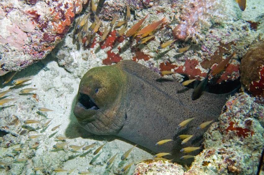 Lhaviyani Atoll Komandoo, Lhaviyani Atoll Komandoo,Malediven,Riesenmuräne,Gymnothorax javanicus
