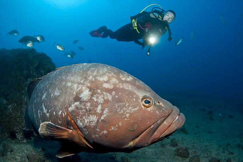 Zackenbarsch, Zackenbarsch, Atlantik, Madeira, Fisch, Manta Diving Madeira, Canico, Portugal