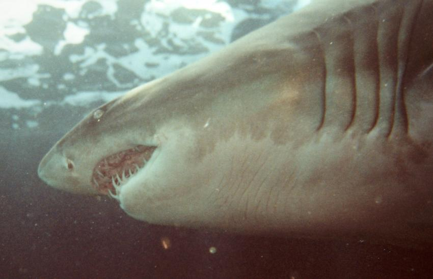 Kapstadt, Kapstadt,Südafrika,sandtigerhai,zähne
