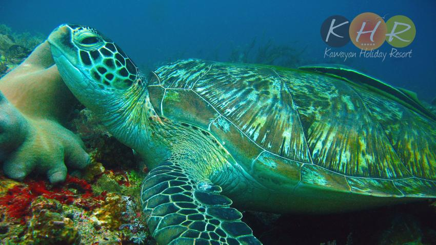 Schildkröte, Schildkröte, Kawayan Holiday Resort Dive Center, Siquijor, Philippinen