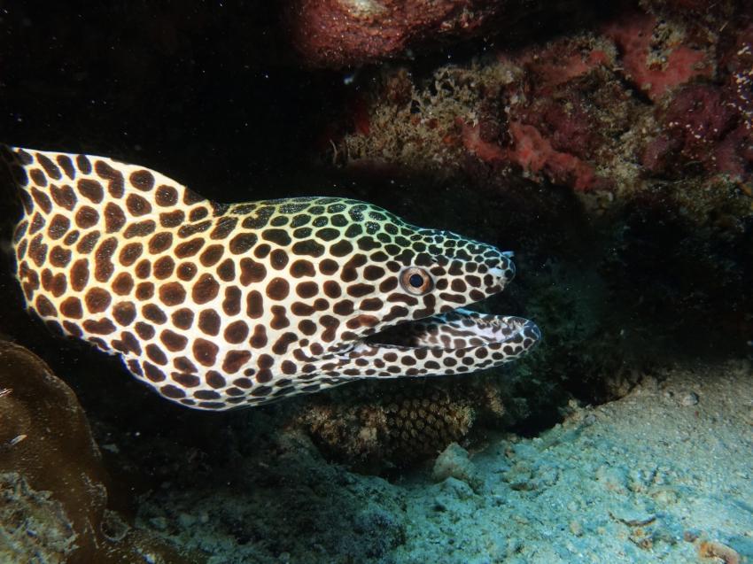 Muräne, Muräne, DivePoint Rannalhi, Malediven