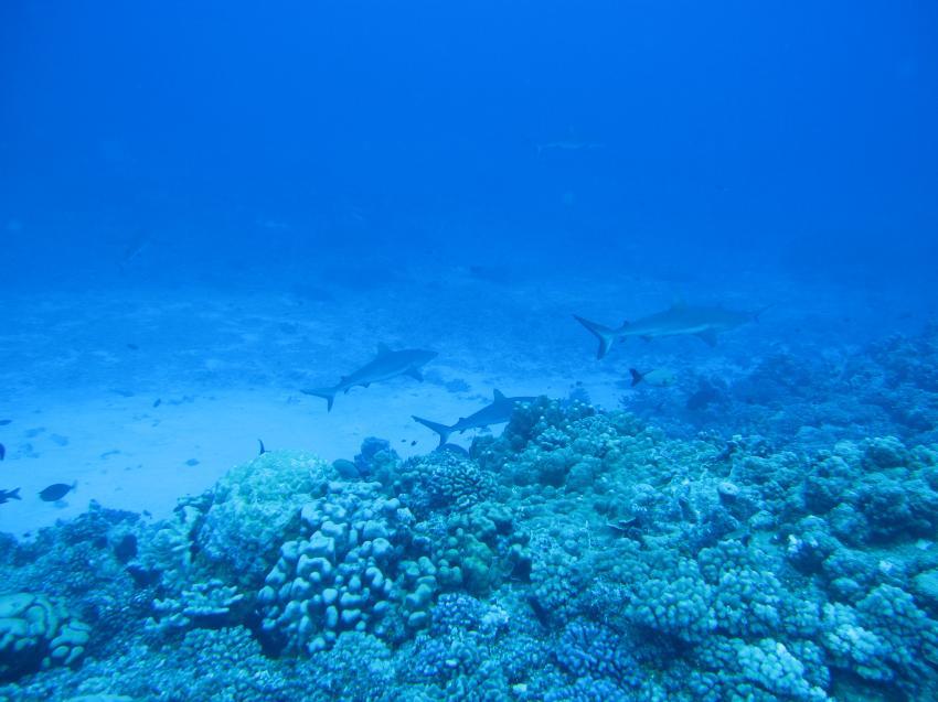 Hai, Hai, Haitauchen, Enata Fakarava Diving, Französisch-Polynesien, Fakarava