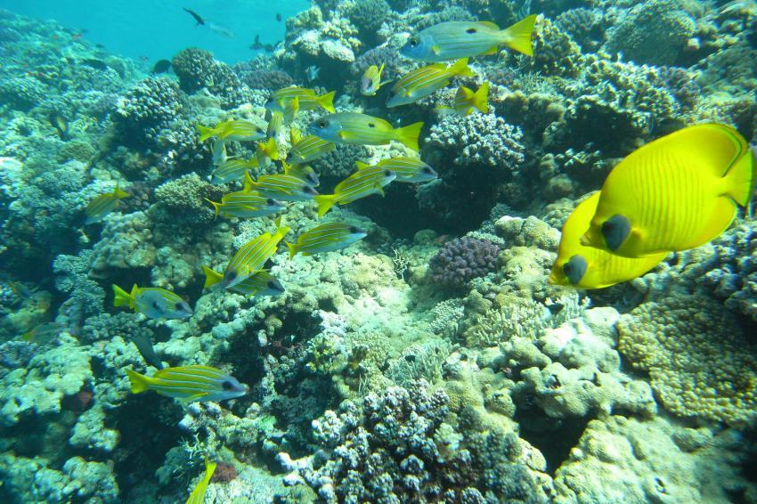 TAUCHSAFARI MY SHERAZADE, Sudan Tauchsafari,Sudan,riff,riffische,falterfisch,korallen