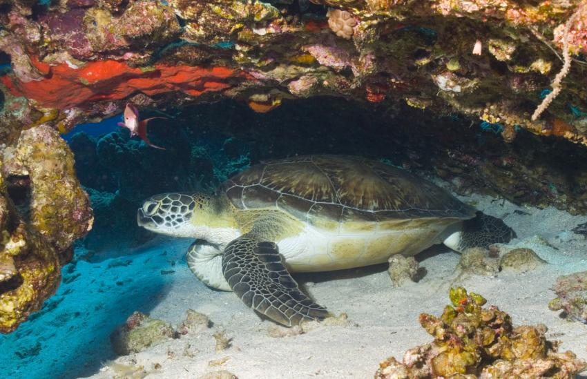 Nuweiba, Nuweiba Dezember 2011,Ägypten,Schildkröte,Meeresschildkröte,Karettschildkröte