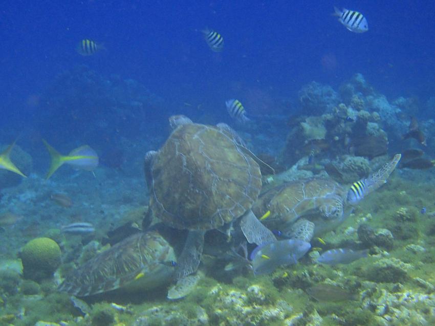 wenn 3 Schildkröten einen Octopus zum Fressen gern haben, Bahia Apartments & Diving, Lagun, Niederländische Antillen, Curaçao