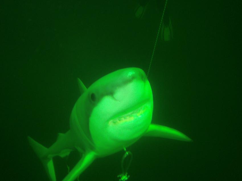 """Unser Weißer Hai """"Bruce"""" von Sharkproject!, Tauchzentrum Geiseltal, Deutschland, Sachsen-Anhalt"""