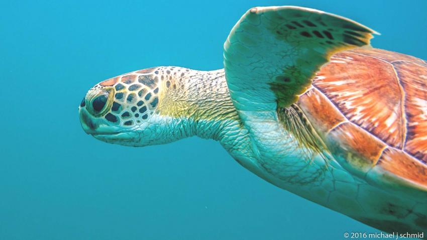 Die Auroa-Bay-Hausschildkröte taucht zum Luftholen auf