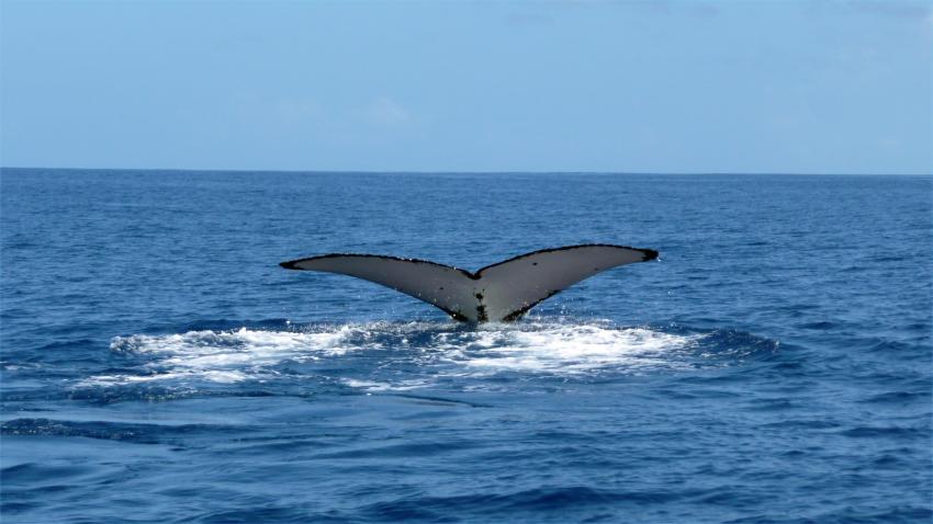 Moorea, Moorea und Fakarava,Französisch-Polynesien,Wale,Walfluke