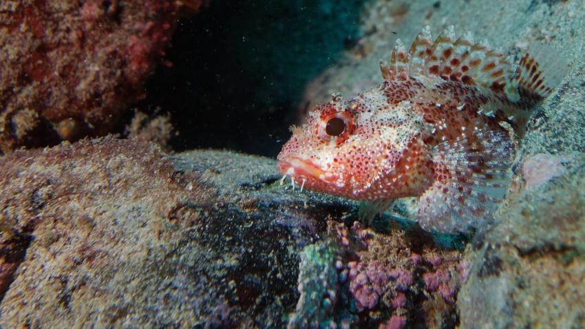 Drache, Drachenfisch, Daivoon Dive Center, Lanzarote, Costa Teguise, Spanien, Kanarische Inseln