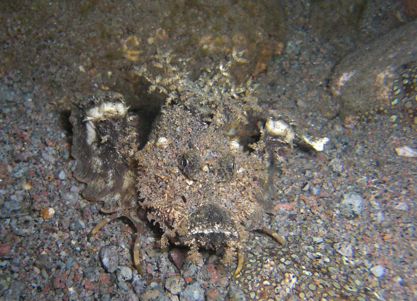 dive society, unterwasseraufnahmen, negros dauin,Philippinen,Skorpionsfisch,Walkman