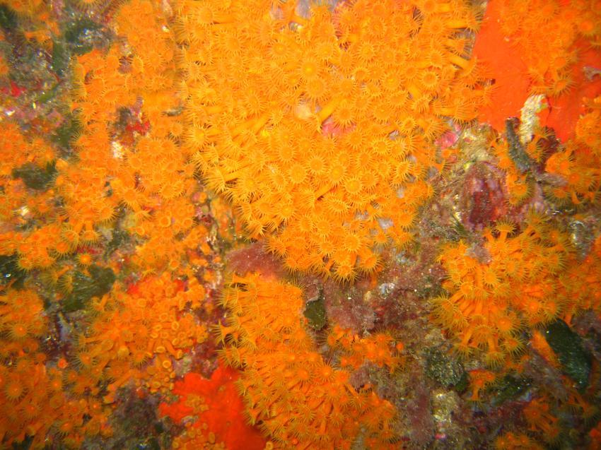 St. Rapahel / Cote Esterel / Ile d´Or, St. Raphael / Cote Esterel / Ile d´Or,Frankreich,Bewuchs,Nelkenkorallen,gelb,orange