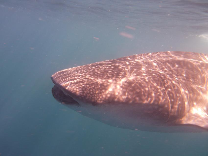 Whaleshark Divers, Macrohon , Southern Leyte, Philippinen