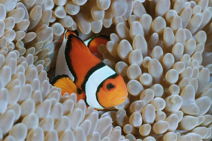 Fotoausstellung Grandeblu Indonesien, Indonesien allgemein,Indonesien,clownfisch,anemonenfisch,nemo,anemone