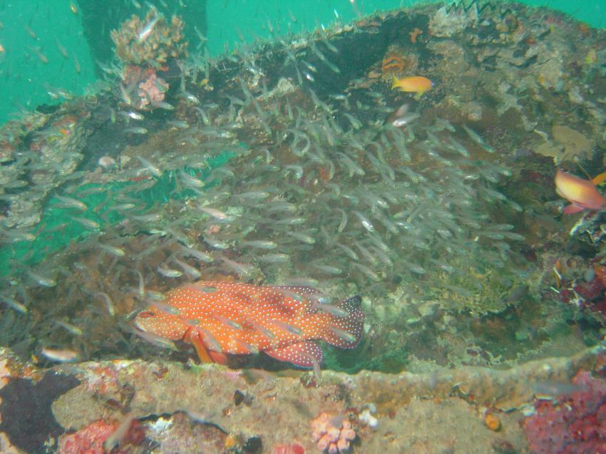 Handhu Falhi Tauchsafari, Handhu Falhi,Malediven,glasfische,wrack