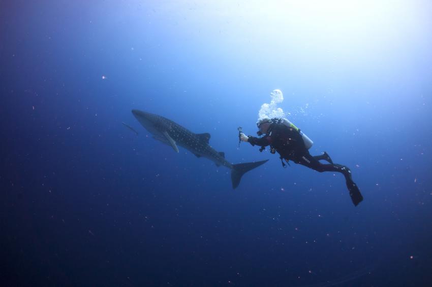 Walhai-red sea, Dive Pirates, Österreich