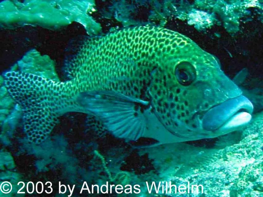 Lankan Reef (Nord Male Atoll), Lankan Reef,Nord Male Atoll,Malediven