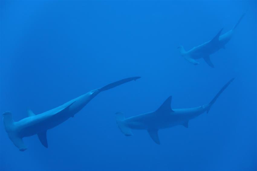 Hammerhai Catwalk, MY Red Sea Explorer - Extra Divers , Ägypten