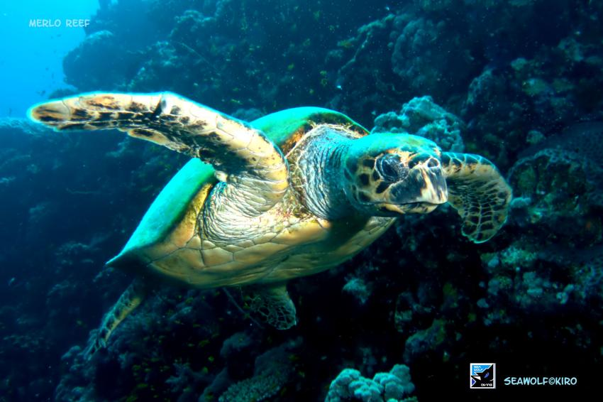Merlo Reef, Sudan Seawolf Safari Merlo Reef, Merlo Reef Nordplateau, Sudan