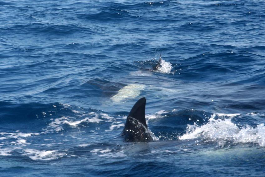 Orca mit dem geschlagenen Delfin, Dive Expert-Tours ,   Südafrika, Südafrika