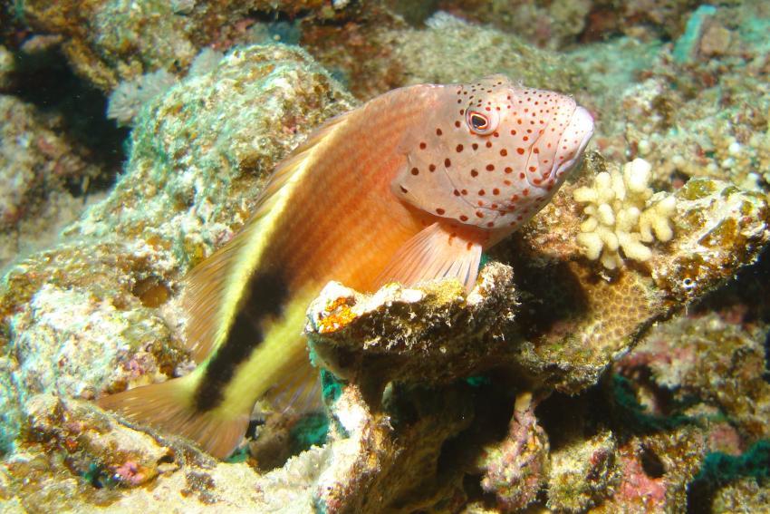 Flamnco Haussriff und Umgebung EL Quseir, diving.DE El Flamenco,Riff,El Quseir,Ägypten
