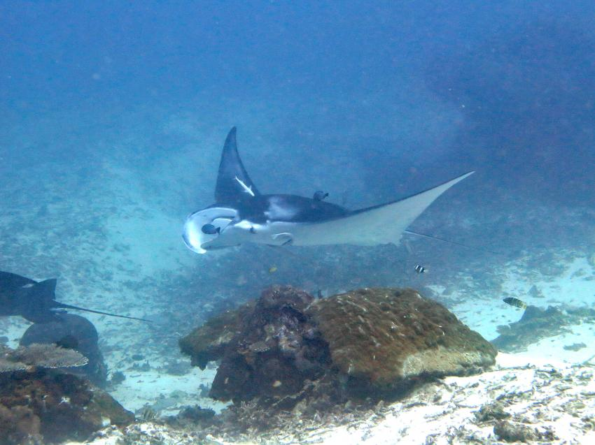 Reef Manta, Kri Eco Resort, Raya Empat Islands, Indonesien, Allgemein