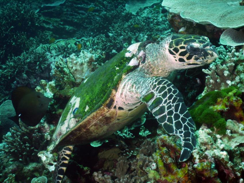 Andaman Sea - South of Amazing Thailand 12/2001, Andamanensee Nord+Süd,Thailand,Meeresschildkröte