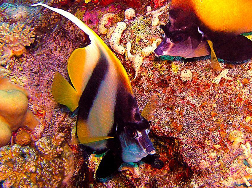 Tauchsafari Süd Tour, Safari Südtour,Ägypten,Safari Süd Tour,Falterfische,Wimpelfalterfisch