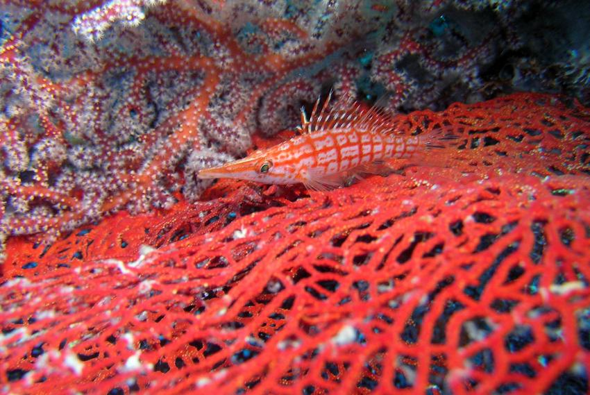 Sipadan, Sipadan,Malaysia,Langnasenbüschelbarsch,Koralle,rot
