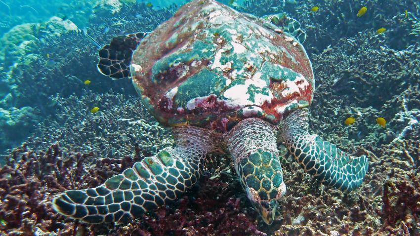 Schildkröte mit buntem Panzer
