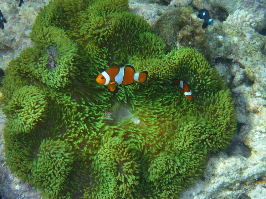 Siquijor, Siquijor,Philippinen,Anemonenfische,orange,Anemone