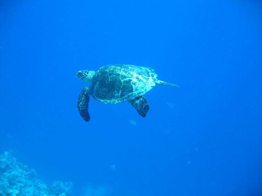 bolifushi house reef, blue canyon, Bolifushi,Malediven