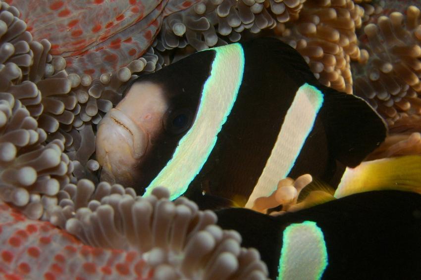 Hammerhead 1: Tauchsafari, Malediven allgemein,Malediven,Anemonenfisch,Anemone