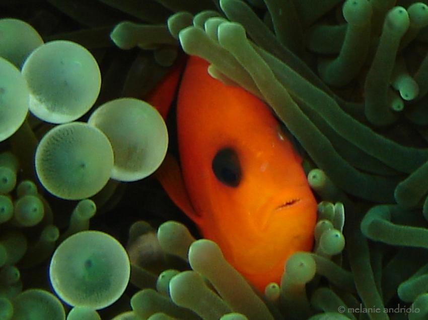 Tomaten-clown-fisch - Richelieu Rock - Surin Islands, Clownfish, Anemonenfisch, Nemo, Similan Islands - Tauchschule  Khao Lak, Sea Turtle Divers - Khao Lak, Thailand, Andamanensee