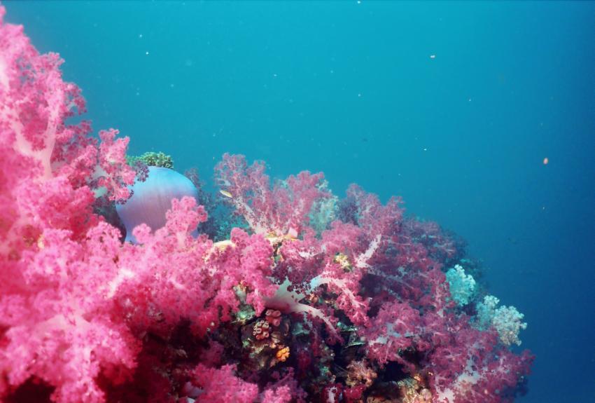 Andaman Sea - South of Amazing Thailand 12/2001, Andamanensee Nord+Süd,Thailand,Weichkorallen,rosa