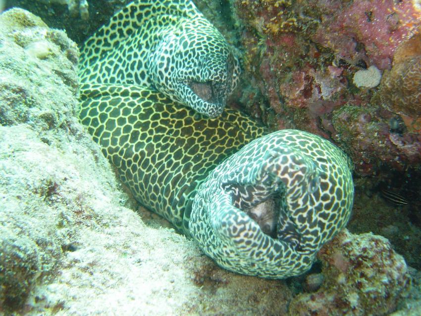 Handhu Falhi Tauchsafari, Handhu Falhi,Malediven,Netzmuräne,paar,höhle