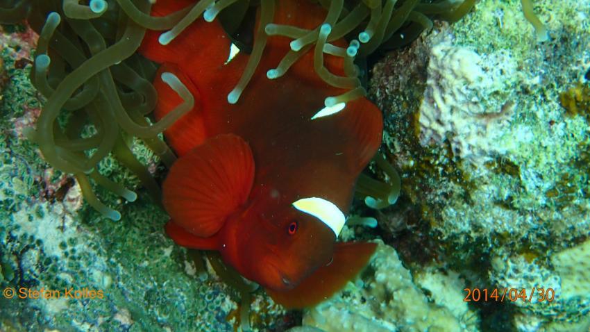 Tauchen auf Love s Beach & Dive Resort, Love s Beach & Dive Resort/verschiedene Tauchplätze,Philippinen