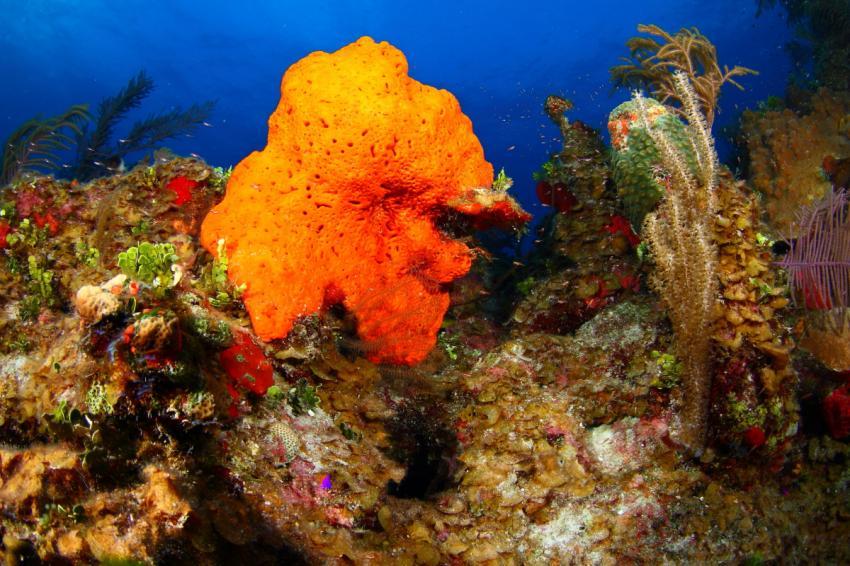 Froggy, Frogfish, Reef Oasis Viva Bahamas, Grand Bahama, Bahamas