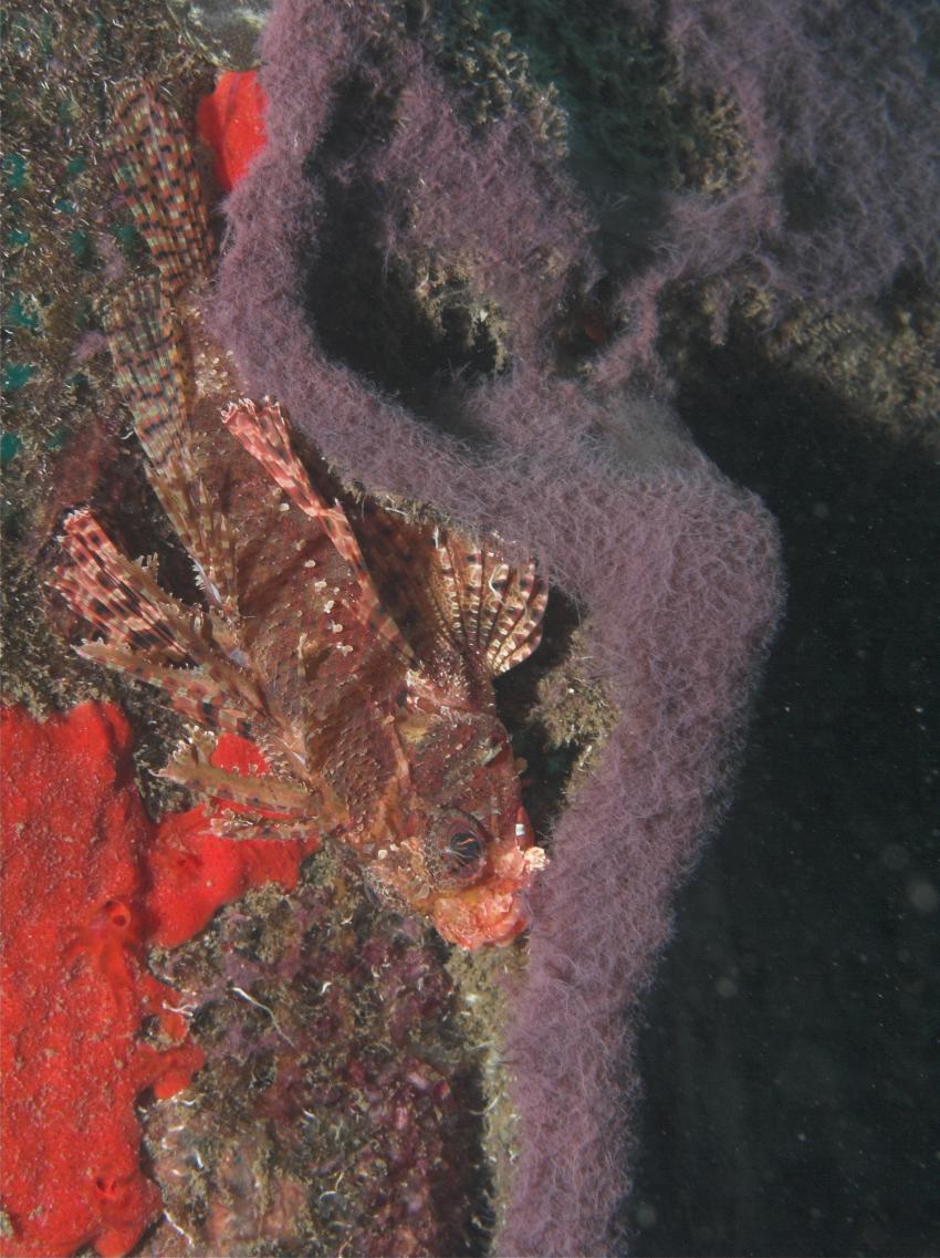 Nord-Bali, Bali Nordküste,Indonesien,Rotfeuerfisch