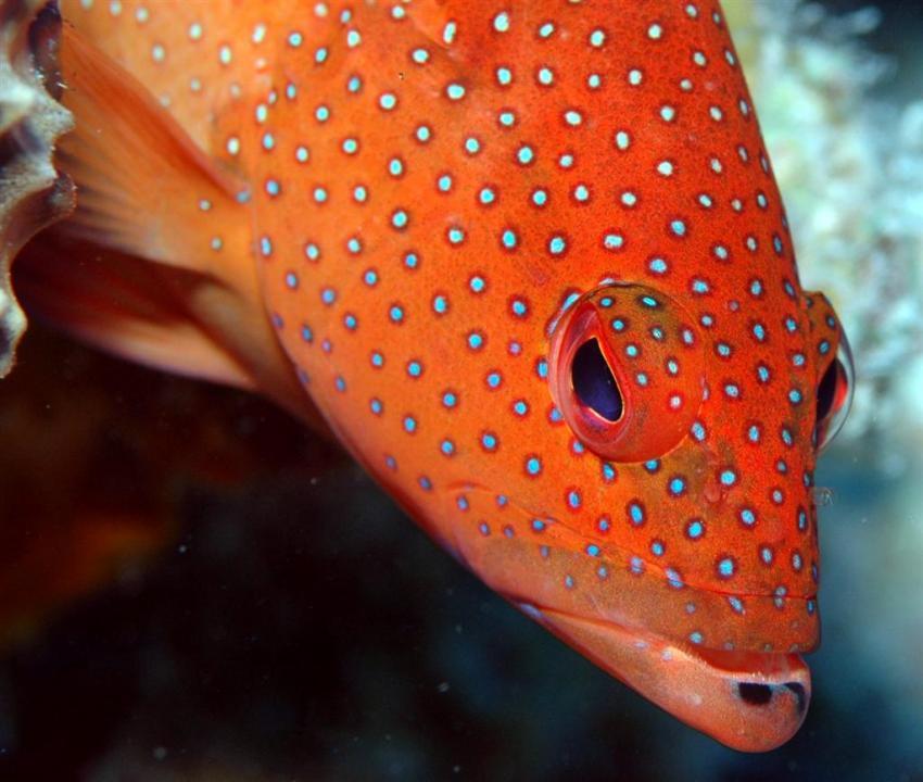 French Cay, French Cay,Turks- und Caicosinseln,Juwelenzackenbarsch