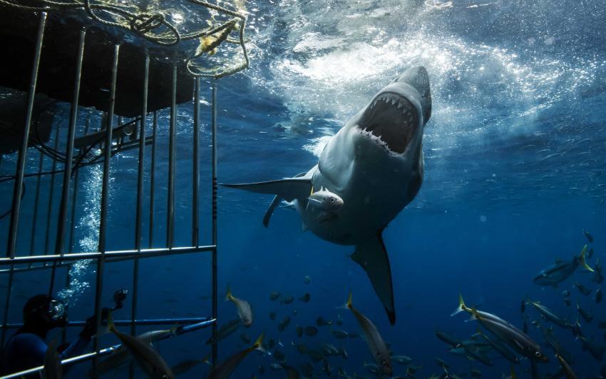 Weisser Hai, Nautilus Belle Amie, Mexiko