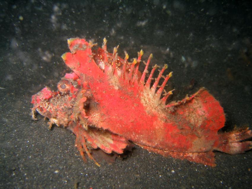 Nord-Sulawesi / Lembeh-Strait, Lembeh Strait,Nord Sulawesi,Indonesien,Ambon-Skorpionsfisch