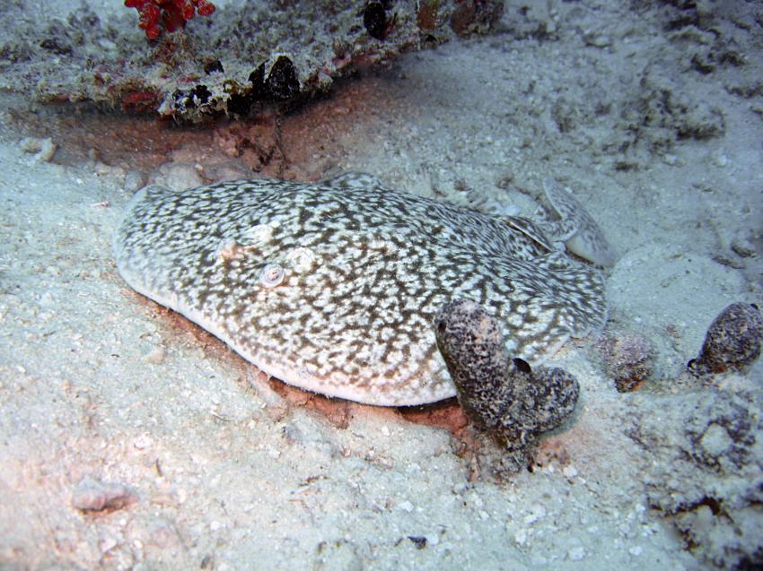 Eriyadu Nord-Male-Atoll, Eriyadu,Eurodivers,Malediven,Torpedorochen