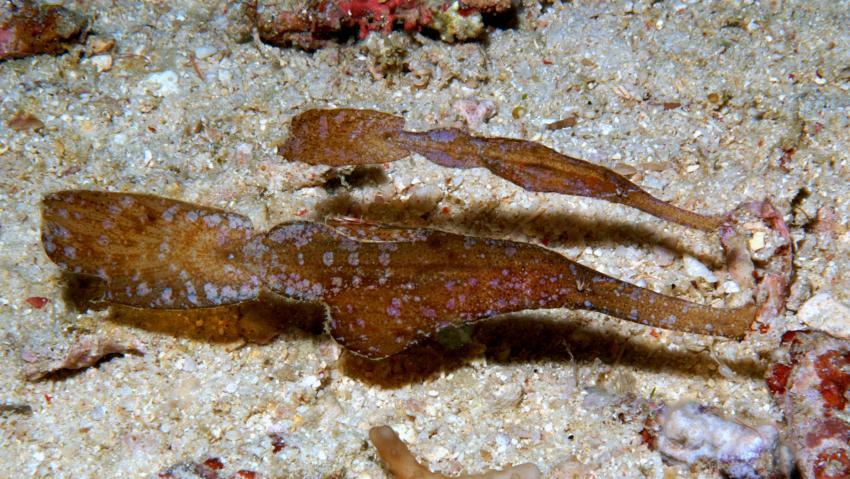 Geisterpfeifenfische