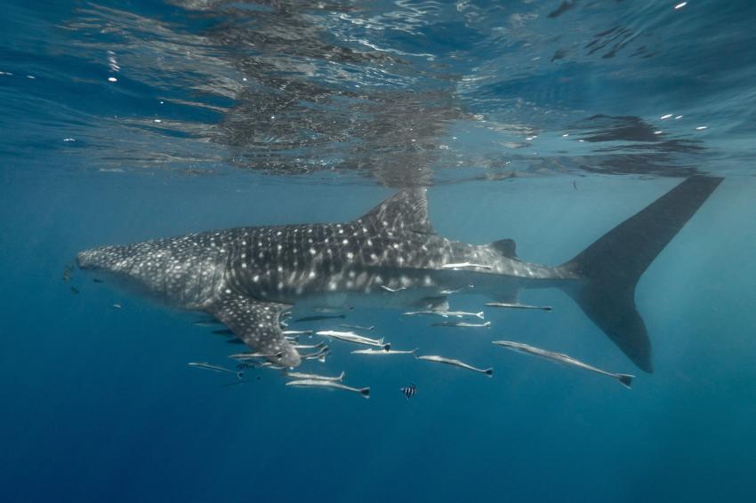 Walhai, Galatea, Seychellen