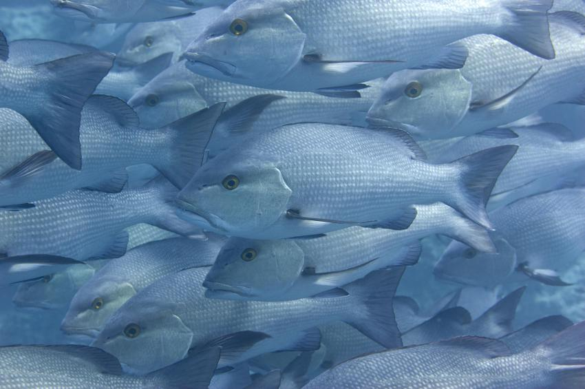 Jackson Reef, Locals Sharm el Sheick,Ägypten,Schnapper,Doppelfleck Schnapper