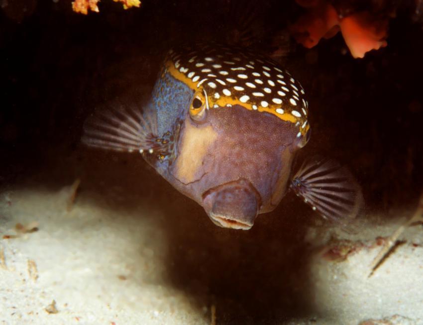 Insel Mahé, Mahé,Seychellen,Ostracion meleagris,kofferfisch