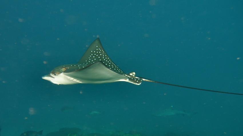 Adlerrochen, Ellaidhoo, Ari Atoll, Alfons Straub Dive & Sail, Malediven