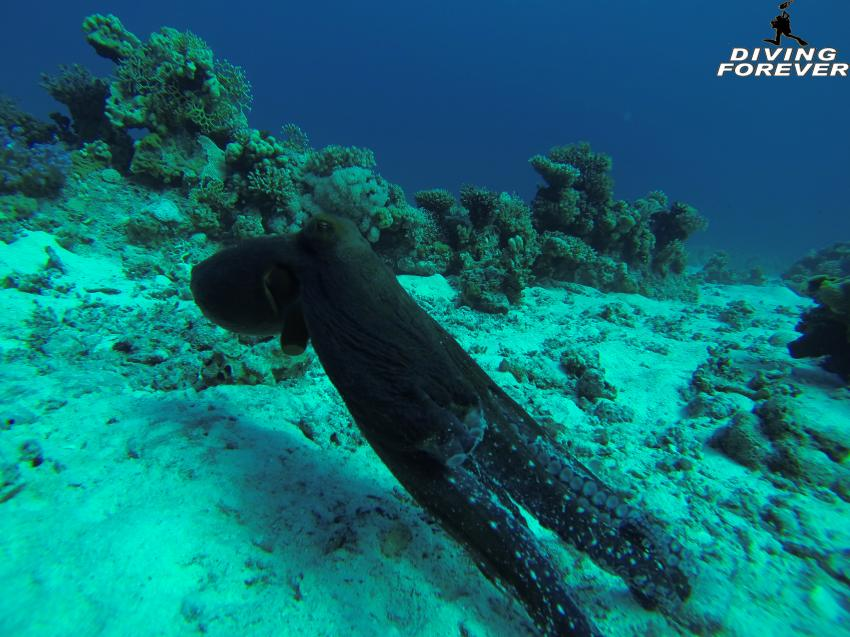 deutsche tauchschule hurghada, deutsche tauchschule hurghada, Diving Forever Hurghada, Ägypten, Hurghada