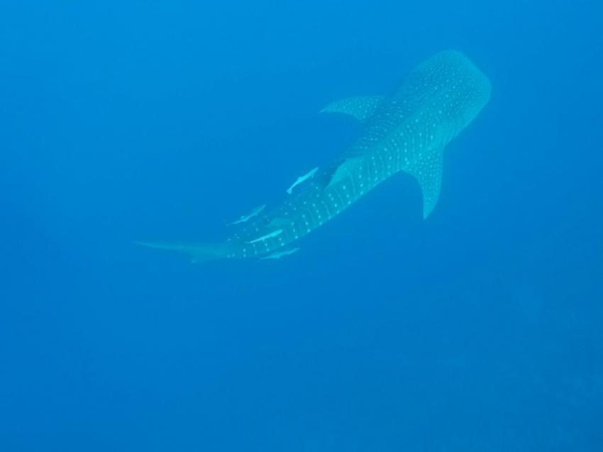 Walhai direkt am Hausriff der Extra Divers, Sharm El Naga, Walhai, Extra Divers Sharm El Naga, Extra Divers - Hotel Viva Blue, Sharm el Naga , Ägypten, Safaga