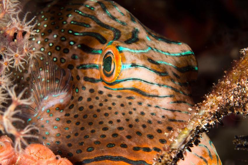 Auge eines Falschaugen-Kugelfisch (Canthigaster papua), Kugelfisch, Falschaugen-Kugelfisch, Canthigaster papua, Tambora, Indonesien